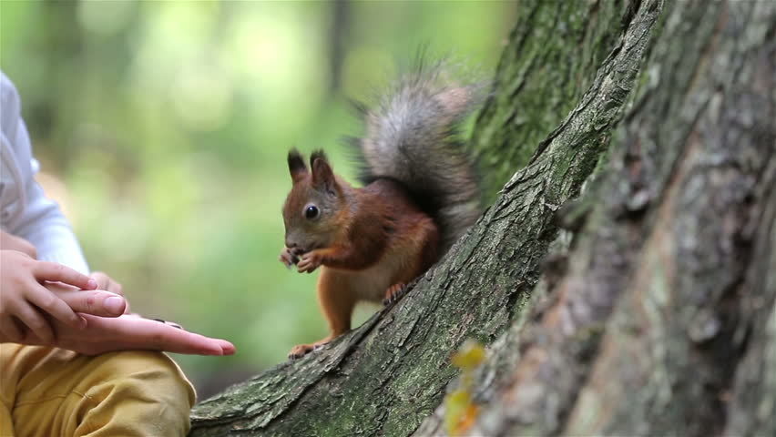 Red squirrel eat nuts from hand of a young woman. #11440538