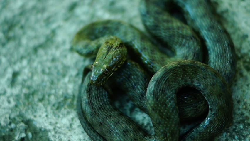 Coiled snake, tongue out. Dice snake ( Natrix tessellata ) | Shutterstock HD Video #11552606