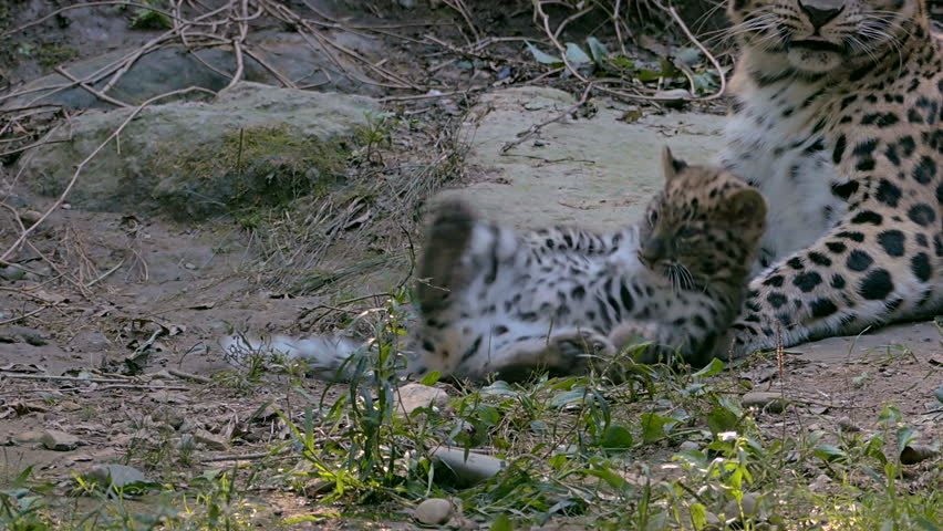 Amur leopard (Panthera pardus orientalis), also known as the Far Eastern leopard, that cares for its cubs while they play.