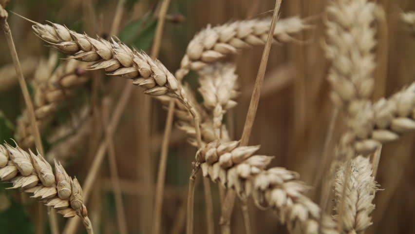 Wheat in a Farmers Field ready to be Harvested HD stock footage. Wheat gently blowing in the wind in the Summertime. ProRes.