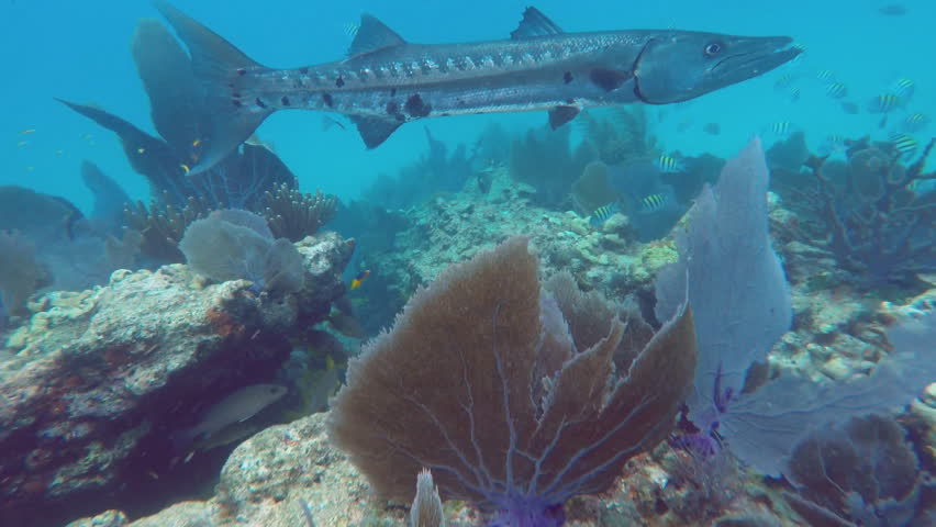 Huge barracuda wait for small fish to stray to far from for Fish cleaning station near me