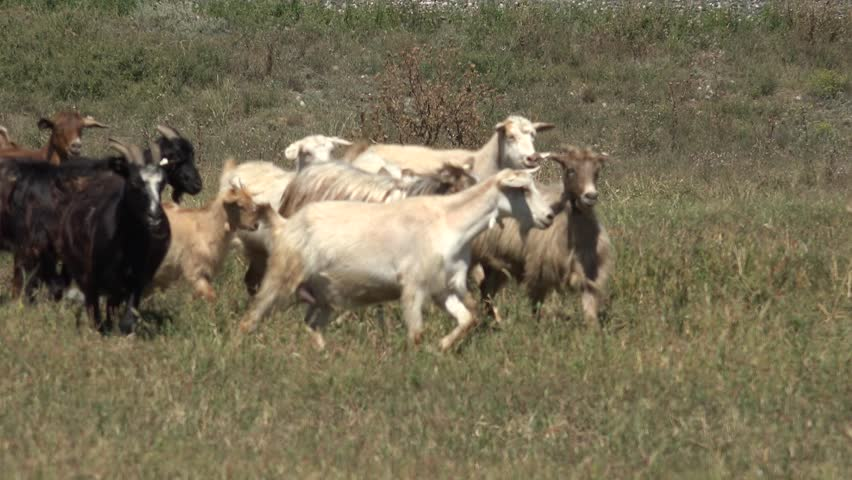 4K Unfocused goat herd in migration in summer hot day among green grass by day | Shutterstock HD Video #11602295