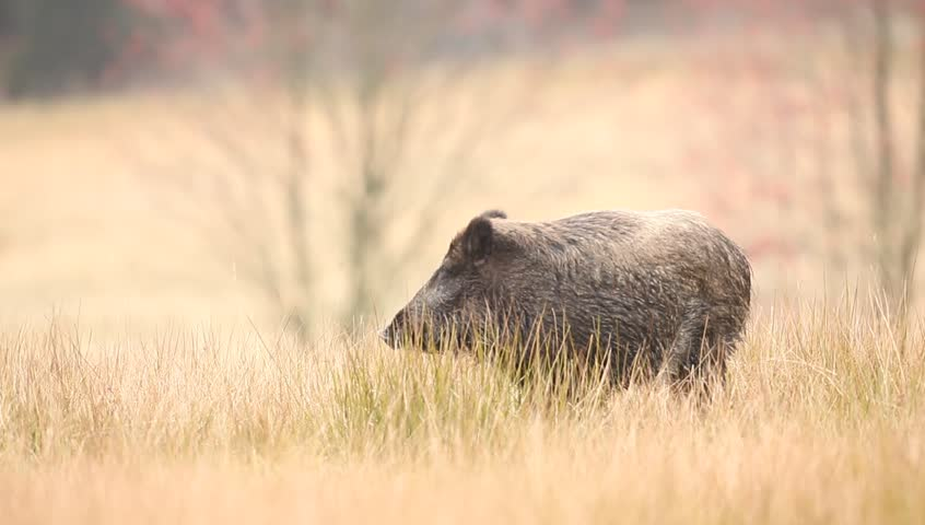 Big Wild boar, Sus scrofa, running in the grass meadow, red autumn forest in background