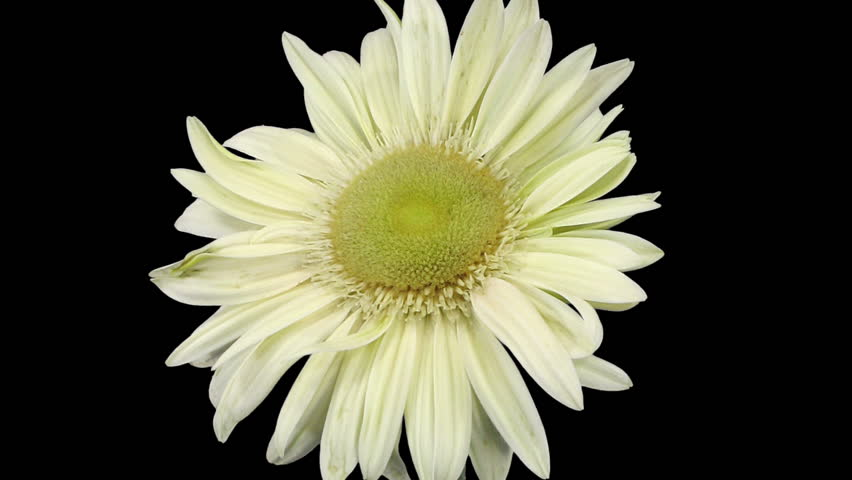 Time-lapse of growing and opening white gerbera flower 3a1 in RGB + ALPHA matte format isolated on black background
