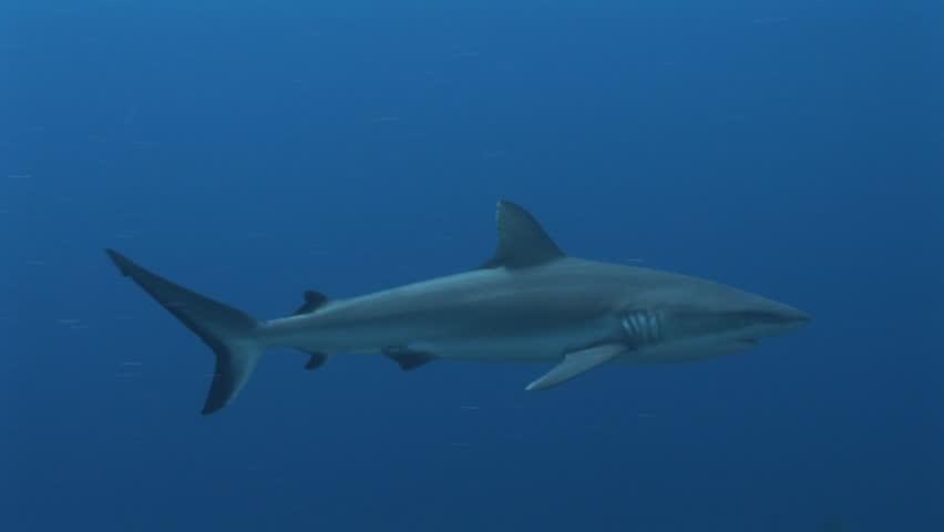 Grey reef sharks, Carcharhinus amblyrhynchos, cruise in blue water, Yap, Micronesia, Pacific Ocean - HD stock footage clip