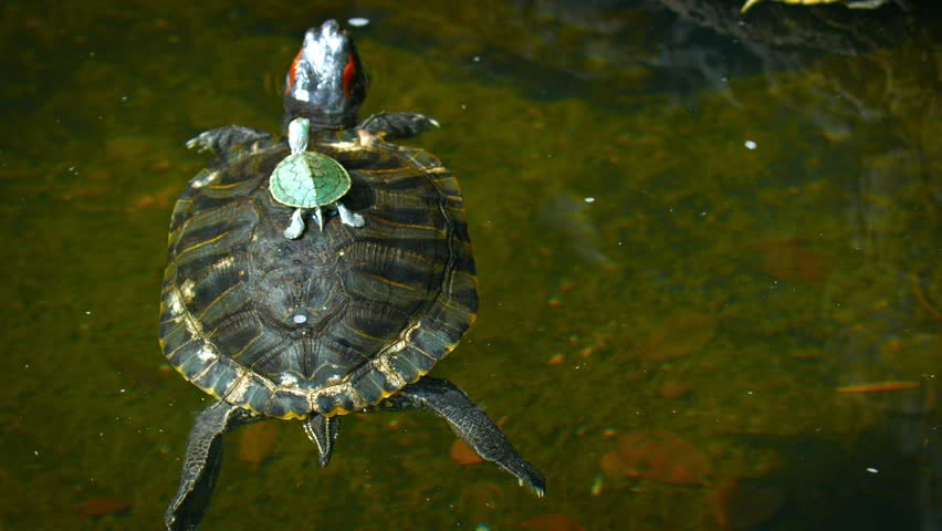 FullHD video - Baby turtle sits motionless on the center of its mother's shell as she floats and drifts on the surface of a garden pond.