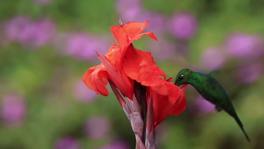 Nice hummingbird Green-crowned Brilliant , Heliodoxa jacula, flying next to beautiful orange flower with ping flowers in the background, La Paz, Costa Rica