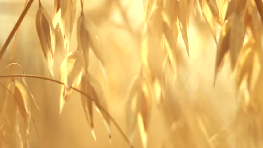 Oat field in sunset. Harvest and harvesting concept. Field of golden oats close up swaying. Organic food, Nature. Peaceful scene. Slow motion Hd 1080p. High speed camera - HD stock video clip