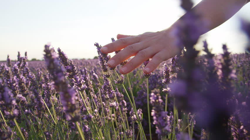 SLOW MOTION CLOSE UP: Hand touching purple flowers in beautiful lavender field at golden sunset | Shutterstock HD Video #11795129