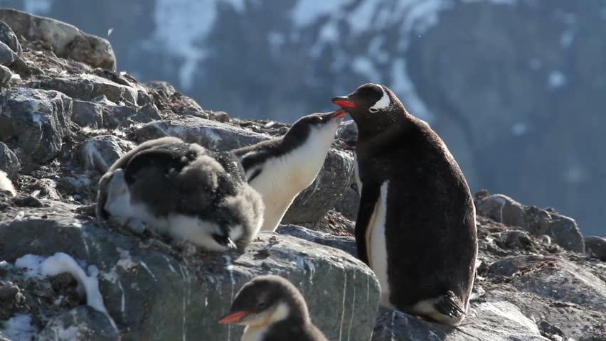 Penguins Feeding Gentoo penguins on the shore of Antarctica feeding krill  - HD stock video clip