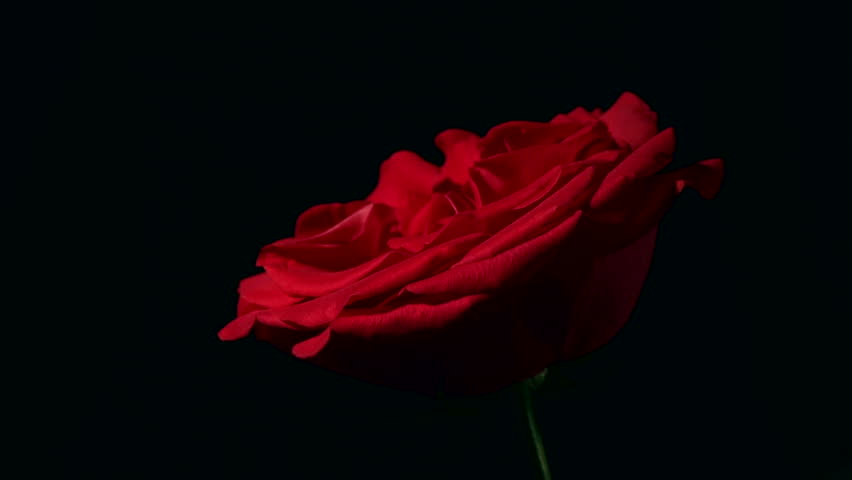 Female hand strangling a red rose. Violent killing beauty. | Shutterstock HD Video #11834180