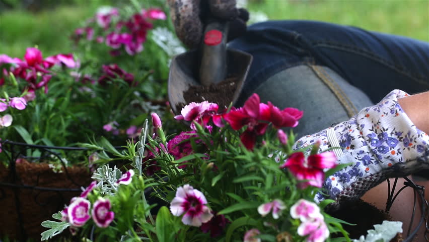 Pan to Gardener Filling Basket. the camera dollies left. focus moves from gerbera flowers in the foreground to a gardener filling a hanging basket with potting soil - HD stock footage clip