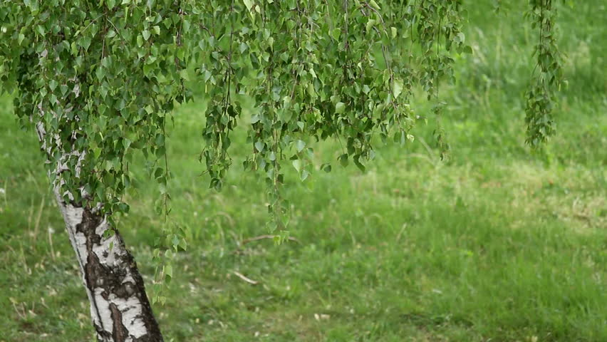Swinger of birch trees MOM