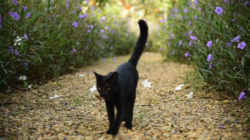 Cute black cat walk on brown pebble gravel in garden among flower bush | Shutterstock HD Video #11879252