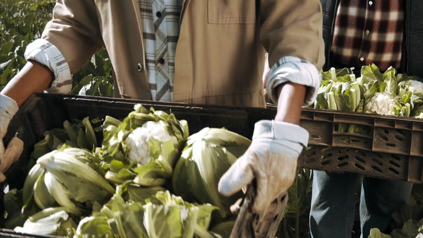 4k medium steadicam shot of farmers and workers carrying and loading baskets full of produce on the farm.