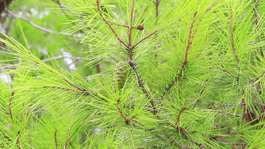 Pine branch close-up  #11925935