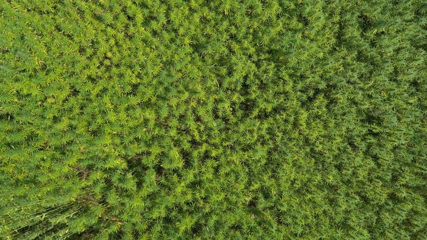 Aerial, vertical - Marijuana field