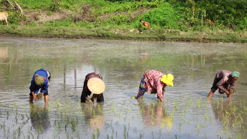 KAMPONG TRACH, CAMBODIA - SEP 26,2015: Four woman hard working on the rice field
