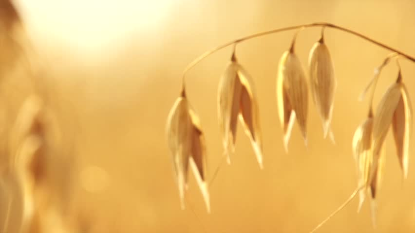 Oat field in sunset. Harvest and harvesting concept. Field of golden oats close up swaying. Organic food, Nature. Peaceful scene. Slow motion 240 fps. Hd 1080p. High speed camera  - HD stock footage clip