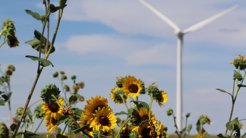Focus on Sunflowers in Foreground of Rotating Wind Turbine - HD stock video clip