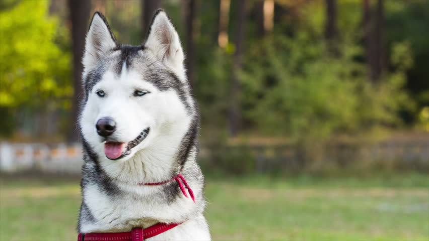 Husky looks around. Dog sits on lawn near forest. Portrait of Siberian Husky on background forest. Video shot in RAW. - HD stock footage clip
