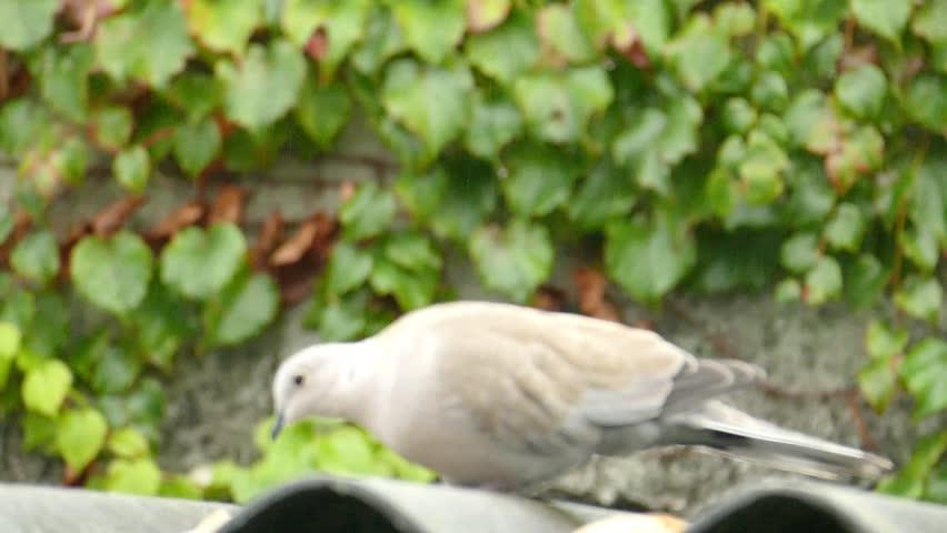 Dove's behavior | Shutterstock HD Video #12146183