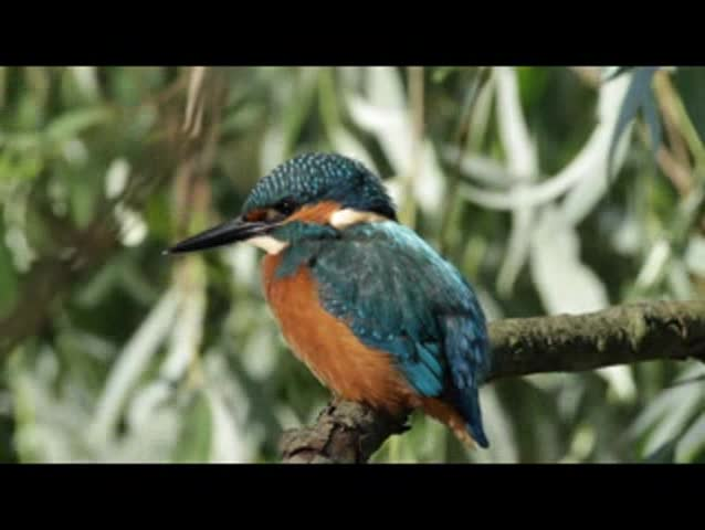 Common Kingfisher (Alcedo atthis) looking for prey in the river.
