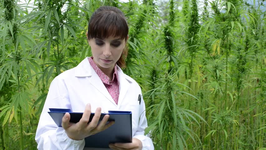 Female scientist holding a clipboard and checking hemp plants, leaves and flowers in the field, herbal medicine concept