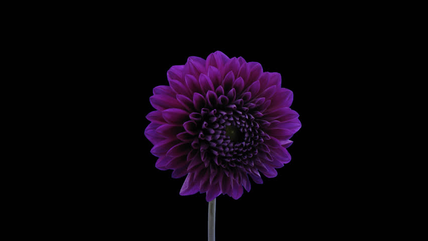 Time-lapse of blooming purple dahlia flower 5a5 in 4K PNG+ format with ALPHA transparency channel isolated on black background