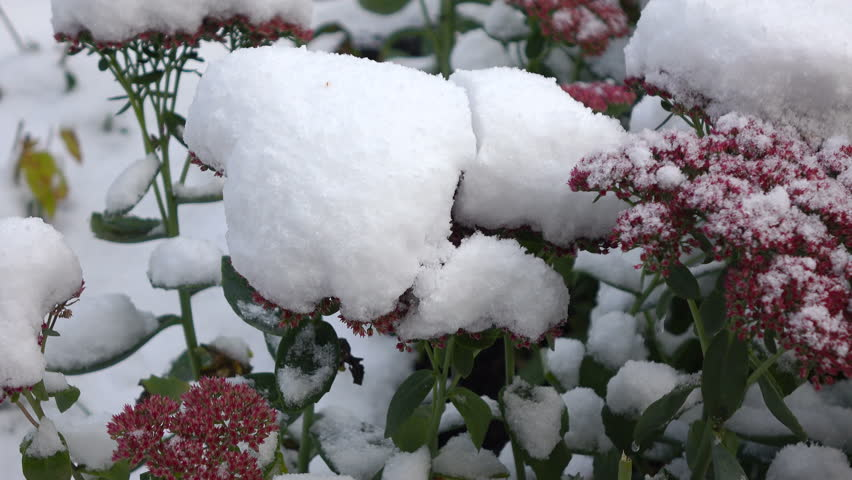 Pink flowers covered with snow