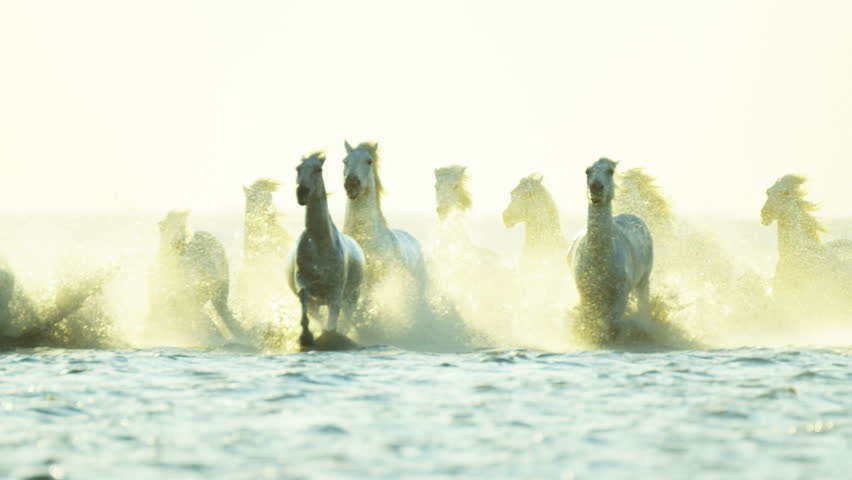 Camargue, France animal horse wild white livestock sunrise rider cowboy running water Mediterranean nature tourism travel RED DRAGON #12327434