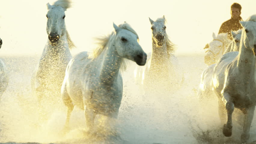 Camargue, France animal horse wild white livestock sunrise rider cowboy running water Mediterranean nature tourism travel RED DRAGON #12327650