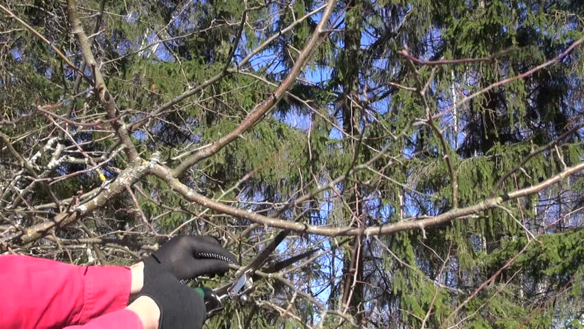 Gardener in black gloves and red shirt pruning apple tree in spring - HD stock footage clip