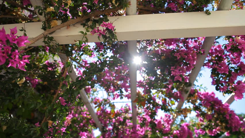 pink bougainvillea against the sky.purple flowers in the garden of Greece Santorini #12387716