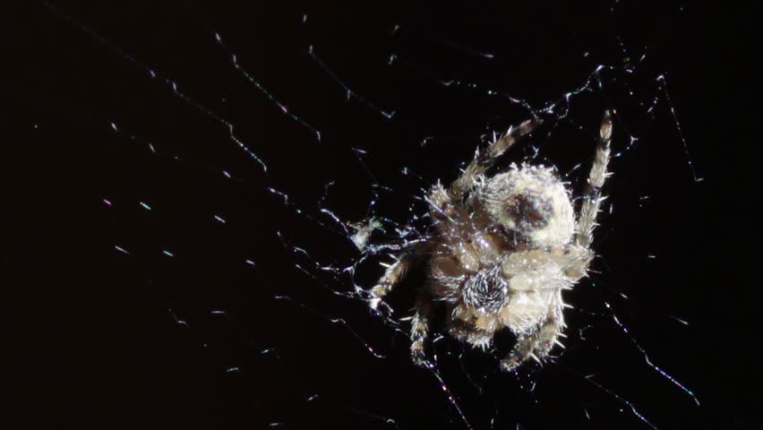 The spider sitting in the middle of the round web. | Shutterstock HD Video #12390245