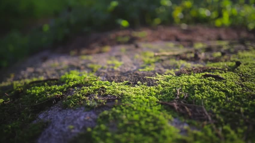 Cinemagraph Loop - Moss sprawled on rock in sunlight - motion photo