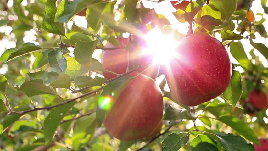 Farmer picking apples from the tree.The sun shines through the apple tree.    Shutterstock HD Video #12553199