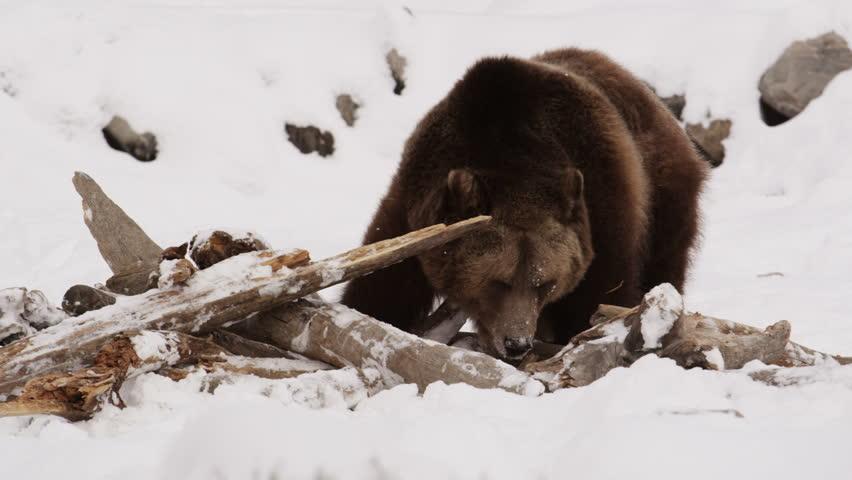 Grizzly Bear (4e Race)