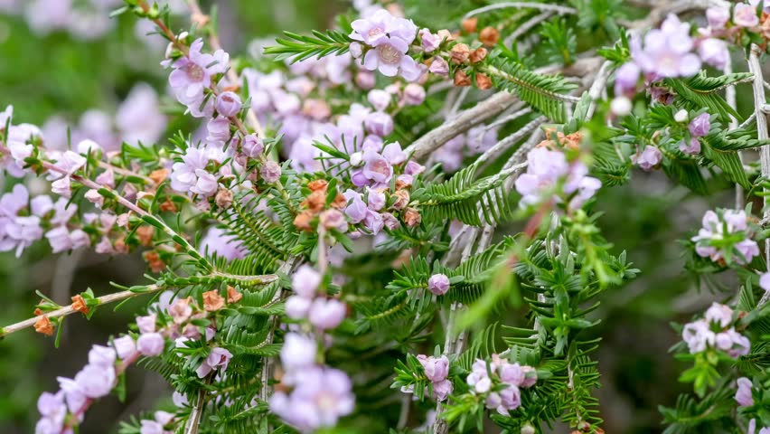 Header of Thryptomene