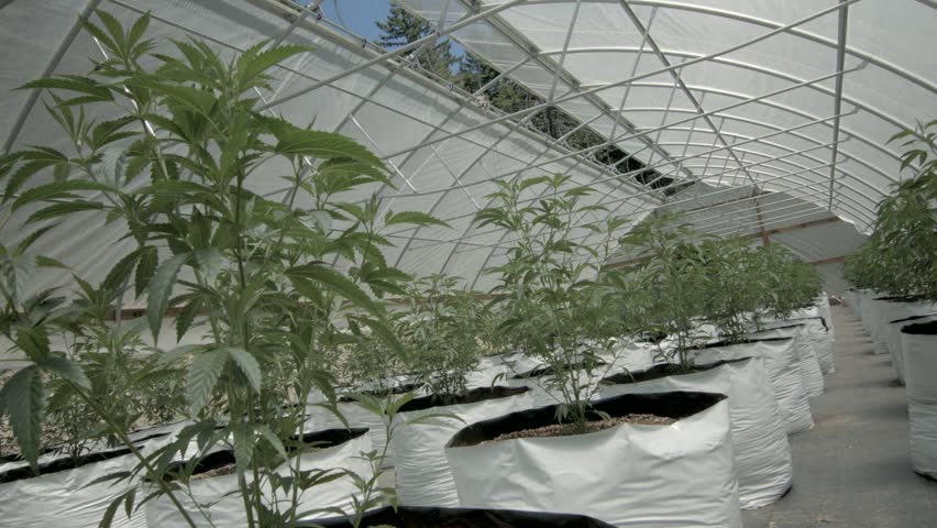 This is a twenty-four hour time-lapse of a marijuana/cannabis greenhouse