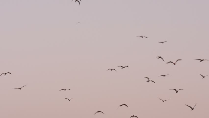 4k Flock of birds flying over clear sky during sunset   Shutterstock HD Video #12659669