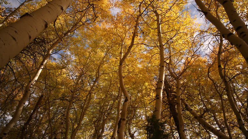 3 axis motion controlled time lapse footage with dolly up, tilt up, pan right & zoom in motion of golden aspens fall foliage low angles shot