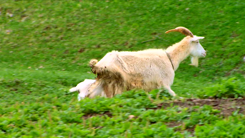 Goats and baby goat kids walking on the field - HD stock footage clip