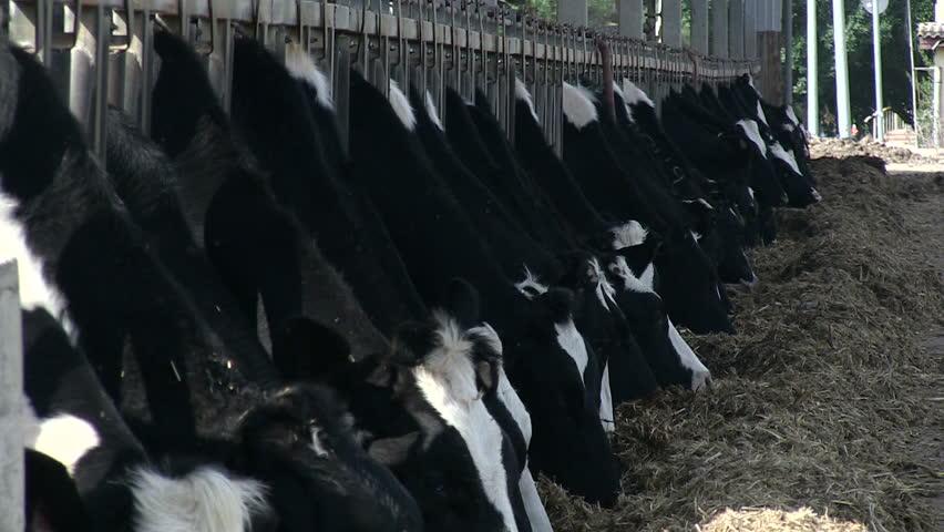 Cows eating at hay farm