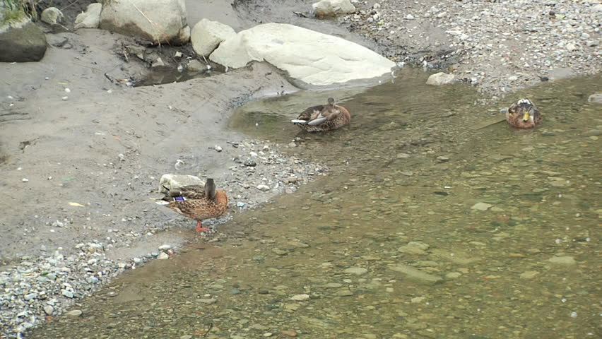 Stream and bubbles in the water. Ducks - HD stock video clip