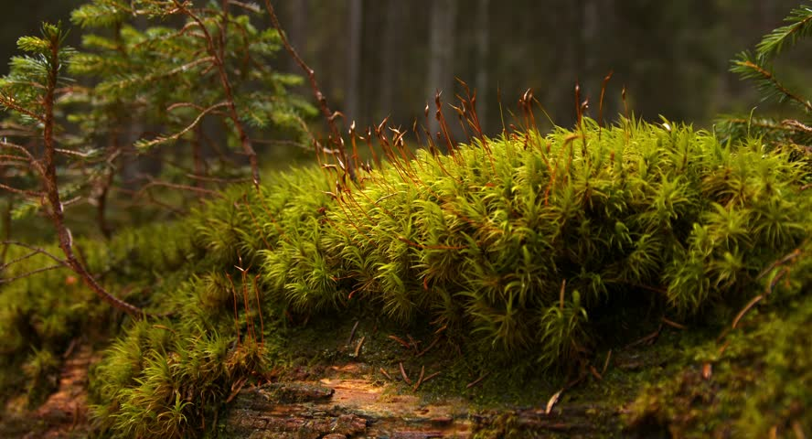 moss is covering a dead trunk in a dark wet forest, Autumn 2014, Bavaria, Germany, Blackmagic Cinema Kamera 4K, Raw, - 4K stock video clip
