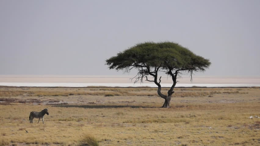 Zebras passing a Tree - Etosha National Park - Wildlife from Namibia | Shutterstock HD Video #13035455
