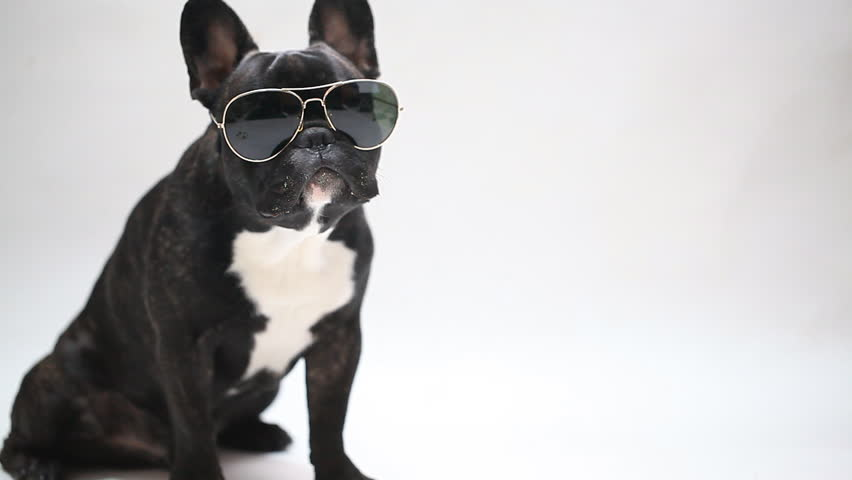 Dog breed French Bulldog in glasses, sits and licks | Shutterstock HD Video #13122017