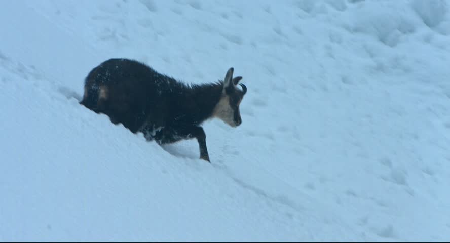Chamois walks in the snow of an avalanche and is looking for food in snowstorm in the Krimml Achental valley, winter 2015, Austria, Blackmagic Cinema Kamera 4K, Raw, , shot in 30fps | Shutterstock HD Video #13232456
