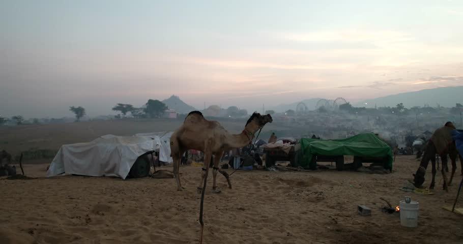 Pushkar, India-Circa November, 2015:Camel and unidentified camel trader an early morning during Camel Fair in Pushkar. Camel Fair is a yearly event in pushkar. - 4K stock footage clip